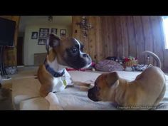 These Beautiful Two-Legged Boxers Will Steal Your Hearts And Make You Smile!