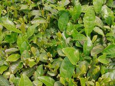 De thee boer nam Tea-Adventure mee naar zijn boerderij op een afgelegen plek, ver weg van de stad ..http://tea-adventure.nl/groene-thee/long-jing