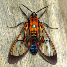 Petit Cabinet de Curiosites - (via ˚Wasp moth, Cosmosoma thia? Ctenuchinae |...