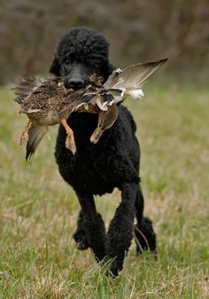 I want a duck Poodle! Apricot Standard Poodle, Standard Poodles, Dexter, Poodle Haircut, Most Beautiful Dogs, French Poodles, Fluffy Dogs, Hunter Original, Therapy Dogs