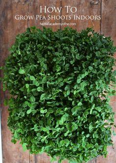 How To Grow Pea Shoots Indoors: Fresh Greens Year-Round #gardening #indoorgarden