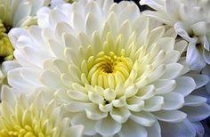 A-lenda-do-Crisantemo