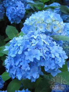 HYDRANGEA 'Nikko Blue'  - All pictures are for illustrative purposes only. The actual condition of individual plants may of course vary depending on the time of the year, the weather and growing conditions at that time.