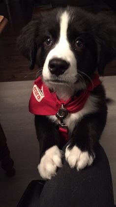 Cute Dogs Breeds, Dog Breeds, Chien Mira, Bernese Mountain, Mountain Dogs, Working Dogs, Border Collie, Animals Beautiful, Fur Babies