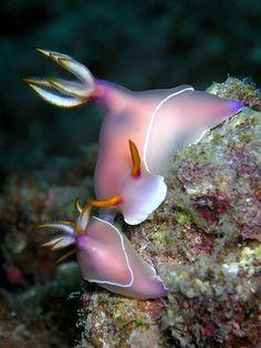 Hypselodoris bullocki   ウミウシ