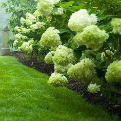 'Limelight' Hydrangea  is unique because its cone-shape flowers open a lovely shade of chartreuse then fade to rich pink in fall. It's a vigorous shrub that's great for informal hedges, as well as a top-notch cut flower. They grow up to 8 ft tall, can grow in full sun or shade and can tolerate dry soil. Beautiful!