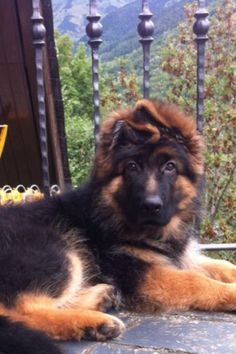 Long coat male puppie from Leo Von der zenteiche and our Anuba de Tierras Charras, krom de Tierras Charras