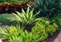 Tropical Landscape Design features False Agave and Foxtail Fern in an urn.