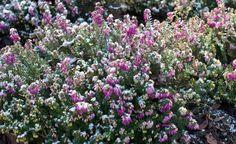 Die Schneeheide (Erica carnea) ist durch die frühe Blüte ab Februar/März, manchmal sogar schon im Dezember, eine wichtige Nahrungsquelle für Insekten