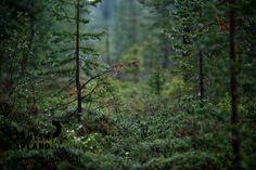 Swampy forest in Jerisjärvi in Muonio, in Finnish Lapland. Photo by Jani Kärppä. #filmlapland #arcticshooting #finlandlapland