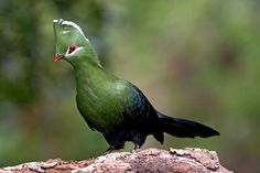 Fascinating Birds: The Attractive and Colorful Turacos of Africa ---- Knysna Turaco South African Birds, Knysna, Bird Aviary, Wild Birds, Birds 2, African Animals, Bird Species, Beautiful Birds, Cool Photos