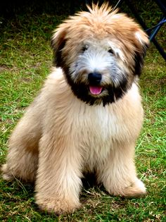 Wheaten Terrier ~ Great pups and a definite bucket-list dog! Wheaten Terrier Puppy, Terrier Dogs, Love My Dog, Beautiful Dogs, Animals Beautiful, Cute Animals, Free Puppies, Dogs And Puppies, Big Dogs