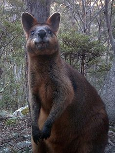 Girraween National Park - Animals - Mammals - Kangaroos - Swamp Wallaby
