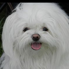 My beautiful Maltese Mimi