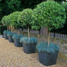 rows of trimmed olive trees grow in square containers surrounded at the base with ornamental grasses.These rows of trimmed olive trees grow in square containers surrounded at the base with ornamental grasses. Garden Shrubs, Garden Trees, Garden Pots, Balcony Garden, Patio Trees, Potted Trees, Bay Trees In Pots, Front Yard Landscaping, Landscaping Ideas