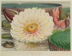 Victoria Regia. (Expanded flower)
