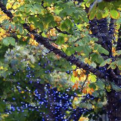 Festive decoration and autumn leaf