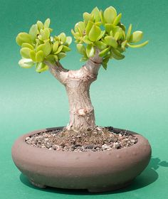 Small Plants, Potted Plants, Indoor Plants, Cactus, Bonsai Garden, Bonsai Trees, Crassula Ovata, Jade Plants, Luxury Watches For Men