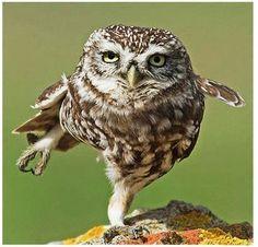 Streching owl