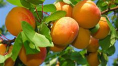Interesting information about the juicy and bright Armenian fruits: apricot, grapes, pomegranate. Apricot Health Benefits, Candied Almonds, Comment Planter, Orange Fruit, Tropical Fruits, Seasonal Food, Garden Trees, Plantation, Fruit Trees