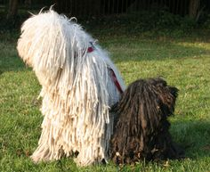 Komondor and Puli pack. Hungarian working line herding dogs. One was the actual herding dog (Puli) and the other one (Komondor) defended the sheep from the predators (wolves, bears).