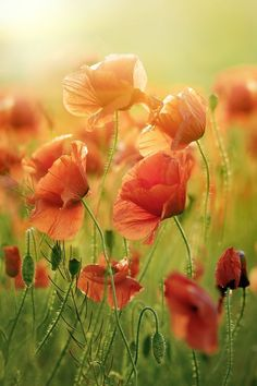 Red Poppy Flowers Photo by Mishael Lesiv — National Geographic Your Shot