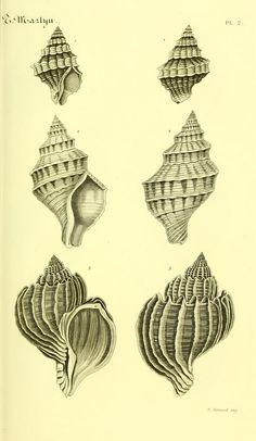 https://flic.kr/p/e8oEFe   n42_w1150   Bibliothèque conchyliologique.. Paris,A. Franck,1845-1846.. biodiversitylibrary.org/page/12109097