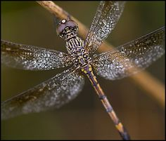 Google Image Result for http://www.wilddelaware.com/wp-content/dragonfly-for-spread-21582-low-res.jpg