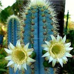 Pilosocereus azureus is a spectacular blue cactus native to the semi-tropical areas of Brazil. Its dramatic color is amazing, even more stunning in the middle of green plants. The blue gets bluer as the cactus ages.Blue Torch is a tall pillar type cactus