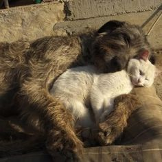 Irish wolfhound & cat snuggle Two of my favorite critters. I so want a Wolfhound. I Love Cats, Dog Love, Cute Cats, Adorable Kittens, Animals And Pets, Funny Animals, Cute Animals, Baby Animals, Amor Animal