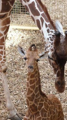 Baby giraf met moeder giraf