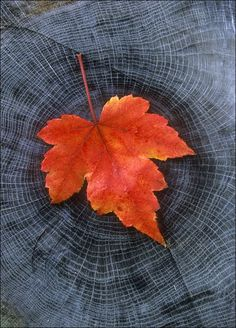 Fall Circles of Life Autumn Day, Autumn Leaves, Maple Leaves, Fall Pictures, Autumn Photos, Foto Art, Circle Of Life, Leaf Art, Beautiful Lights