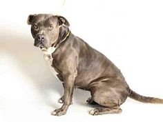 San Pedro, CA - Staffordshire Bull Terrier. Meet MICKEY, a dog for adoption. http://www.adoptapet.com/pet/13010395-san-pedro-california-staffordshire-bull-terrier