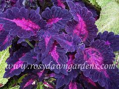 """Coleus 'Ruby Laser' (medium 12""""-18""""; upright) Voluptuous, deep-purple coleus with ruffled leaves and a striking magenta center.  Very pretty and unique, with a compact shape and refined size great for containers. Never fails to make visitors stop and remark on its saturated color and pretty leaf."""