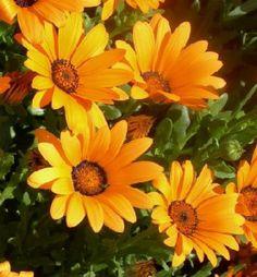 Margarida Africana - planta de jardim maravilhosa, pertencente à família Asteraceae. Consiste em grandes aglomerados, com hastes finas, que carregam folhas longas e ovais, de cor verde. As flores são semelhantes a grandes margaridas em cor laranja, vermelha, amarela ou roxa e, fazem a sua aparição no final da primavera.