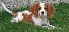 Cavalier King Charles (of course this one's not as cute as Pencil!)