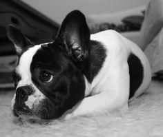 bulldog francés | Buldog Francés tumbado | Imágenes de perros