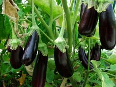 *** (I LOVE my eggplants! All of which I'm growing in containers)  How To Grow Eggplant - Eggplants grow on small bushes and can reach up to 5 feet tall. The gardening and growing requirements of eggplant is similar to tomato plants. Eggplants may grow through container gardening, in that way the plant can produce enough harvest for everyone.