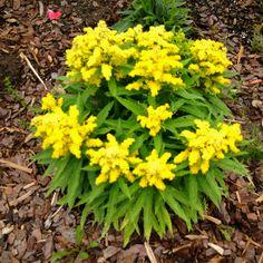 Little Lemon Goldenrod.  Got this plant from Jenn Dindinger.