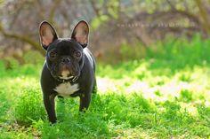 Ollie the French Bulldog by Julie Saraceno, via 500px