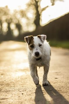 Jack Russell Terrier Dogs up for adoption everyday in the UK due to terrible owners! Help our little jack terriers now!