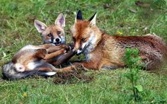 Urban foxes play in a garden in Birmingham