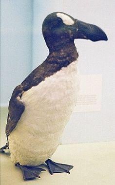 The Great Auk. Extinct since the early Extinct Birds, Extinct Animals, Great Auk, Zen, Living Fossil, Big Animals, Prehistory, Endangered Species, Bird Species