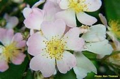GEORGIA State Flower - Cherokee Rose
