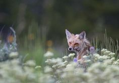 A portrait of a red fox in a meadow