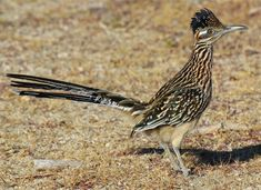 Roadrunner Bird These are also everywhere but are incredibly difficult to capture a picture of because they're so fast!
