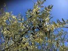 Takhle nyní kvetou olivy u Francesca, ze kterých se dělá báječné Tratturello...no není to nádhera?