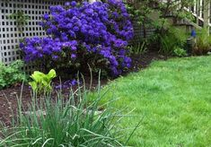 Rhododendron Blue Baron - Very Purple(Blue) Small Blooms - Will Grow to Three Feet - Container Size Plant - Hardy to F Porch Garden, Home Garden Plants, Home And Garden, Hillside Garden, Container Size, Container Plants, Thing 1, Planting Seeds, Green Leaves