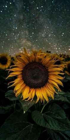 Nature wallpaper for cell phone; sunflower wallpaper at night, field of big yellow petal flowers with green leaves and sky … Sunflower Iphone Wallpaper, Wallpaper Iphone Cute, Aesthetic Iphone Wallpaper, Cool Wallpaper, Aesthetic Wallpapers, Beautiful Wallpaper, Iphone Backgrounds, Trendy Wallpaper, Screen Wallpaper