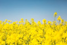 Free Image: Blooming Canola Rapeseed Field | Download more on picjumbo.com!